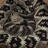 Royal boa Stock Images