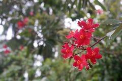 Royal Botanical Gardens, Peradeniya, Sri Lanka. Red flowers after a rain storm at the Royal Botanical Gardens, Peradeniya, Sri Lanka Royalty Free Stock Photo
