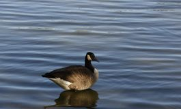 The Royal Canadian Goose Stock Photography