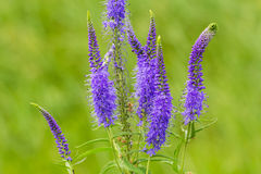 Royal Candles Veronica. Veronica spicata spiked speedwell; Pseudolysimachion spicatum is a species of the genus Veronica. Also known as Royal Candles Veronica Stock Images