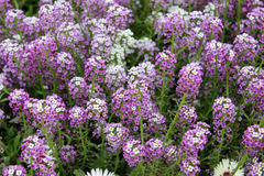 Royal carpet, sweet alyssum. Lobularia maritima, Alyssum maritimum, low growing annual herb with white to purple flowers often forming dense carpet Stock Photography