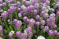 Royal carpet, sweet alyssum Stock Photos