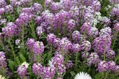 Royal carpet, sweet alyssum. Lobularia maritima, Alyssum maritimum, low growing annual herb with white to purple flowers often forming dense carpet stock photos