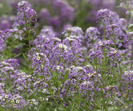 Royal Carpet Sweet Alyssum (lobularia maritima) Royalty Free Stock Photography