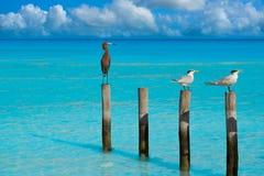 Royal Caspian terns and Reddish Egret heron Royalty Free Stock Photos
