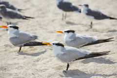 Royal Caspian terns sea birds in Miami Florida Royalty Free Stock Images