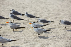 Royal Caspian terns sea birds in Miami Florida Stock Photography