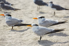 Royal Caspian terns sea birds in Miami Florida Stock Photo