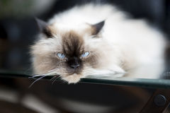 Royal Cat. Cat relaxing on a coffe table Stock Photos