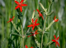Royal catchfly Silene regia with bright red flowers in selective focus against a blurred green background. Royal catchfly Silene regia in selective focus with Royalty Free Stock Image