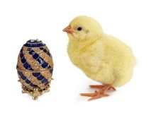Royal chick. Fluffy yellow easter chick looking at a golden jewelry egg Stock Image