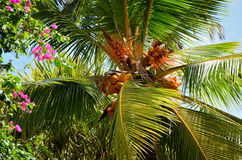 Royal coconut (Cocos) Royalty Free Stock Images