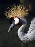 Royal Crane Stock Photos