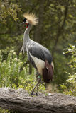 Royal crane balearica regulorum Royalty Free Stock Photo