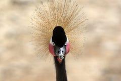 The royal crane. Portrait of a royal crane. Photo taken in Kenya Stock Image