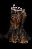 Royal dog with crown Stock Photography