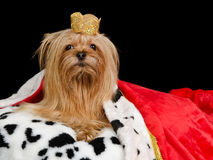 Royal dog with crown and gown. Isolated Stock Image