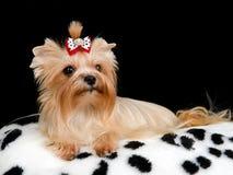 Royal dog on the cushion. Against black background stock photo
