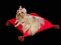 Royal dog lying on red cushion Stock Photo