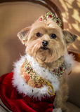 Royal Dog Princess Doggie. Yorkie dressed in crown with jewels and royal cape. Yorkshire Terrier, Yorkiepo dresses as Valentine Princess royalty free stock image