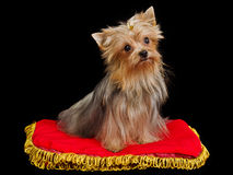 Royal dog on red cushion Royalty Free Stock Images