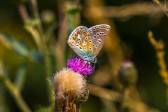 Royal Dress. Lycaenidae butterfly on the meadow. Macro photography of wildlife Royalty Free Stock Photography