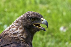 Royal eagle Royalty Free Stock Images