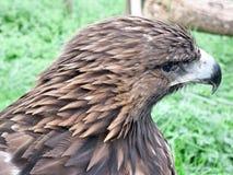 Royal eagle. Detail of royal eagle, highlighting the plumage. Photo taken in the area of Santillana del Mar. Santander. Spain Stock Photos