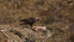 Royal Eagle. Eats the prey on a rock stock video footage