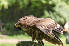 Royal Eagle. Observing, on green background stock image
