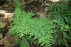 Royal fern Stock Photos