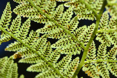 Royal Fern spores. The spores of a Royal Fern seen from below in the sunlight Stock Photos