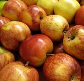 Royal Gala Apples. Fall harvest of freshly picked Royal Gala apples stock images