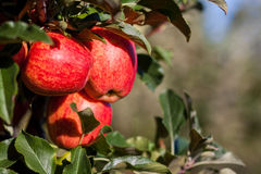 Royal Gala Apples Royalty Free Stock Photography
