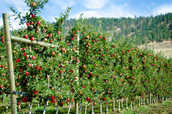 Royal Gala apples ready for harvesting. Royal Gala apple trees on a sunny day ready for harvesting Royalty Free Stock Images