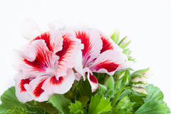 Royal geranium Royalty Free Stock Photo