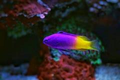 Royal Gramma aquarium fish. Coral reef aquarium tank fish royalty free stock photo