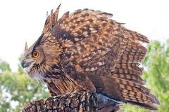 Royal Iberian owl Stock Images