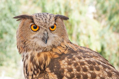Royal Iberian owl 2 Royalty Free Stock Images