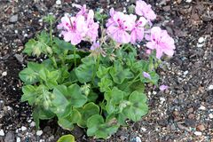 Royal Lavender Ivy Leaf Geranium, Pelargonium peltatum `Royal Lavender` Stock Image