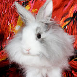 The royal lion's rabbit. The baby of royal lion's rabbit Stock Photo