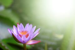 Royal lotus flower. The Purrle royal lotus flower and copy-space with blurred background stock image