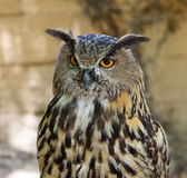 Royal owl. A Royal owl portrait image Royalty Free Stock Photo