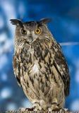 Royal Owl Stock Image