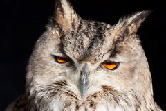 Royal owl - Bubo Bubo Stock Image