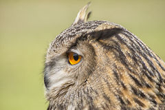Royal owl Royalty Free Stock Images