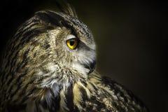 Royal owl. A portrait of royal owl, with big orange eyes stock image