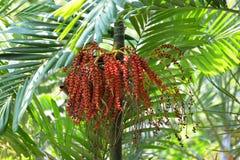 Royal palm fruit. Latin name Roystonea regia stock image