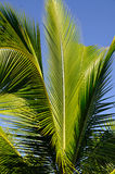 Royal Palm Leaves Stock Photos