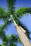 Royal Palm (Roystonea regia) Stock Photos